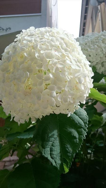 R_紫陽花